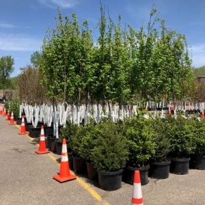 Minnetonka Tree Sale